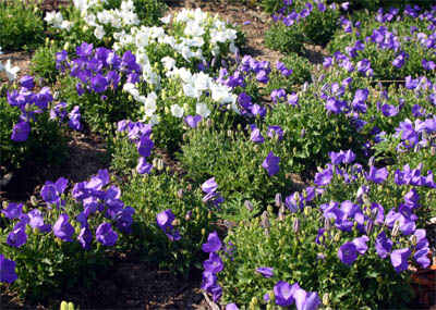 Carpathian bellflower forms neat mounding clumps.