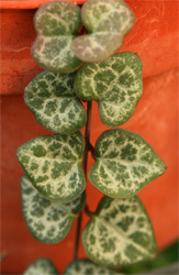 The leaves are dark green mottled with silver.