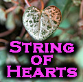 Ceropegia woodii: String of Hearts Title Image