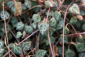 The pink or purple stems bear many heart-shaped leaves.
