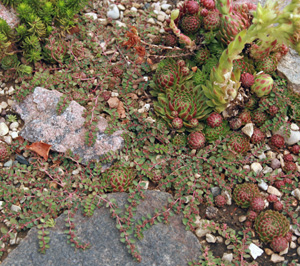 Hand pulling is best when spotted spurge is growing among other plants.