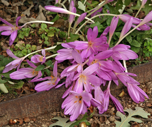 Colchicums naturalize well.