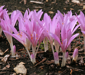 Autumn crocus in bloom.