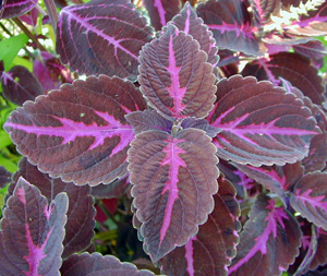 Coleus Stained Glass