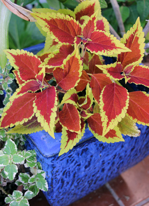 Coleus grows well in containers.