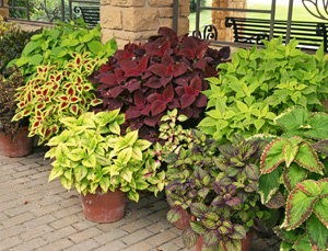 Coleus in containers are easy moved to provide instant color wherever needed.