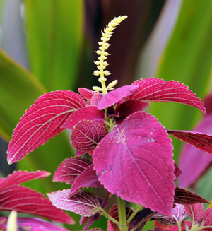 Its best to pinch off flowers to direct the plants energy into growing more leaves.
