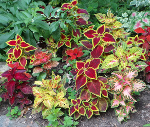 There Is A Wide Range Of Cultivars Of Coleus.