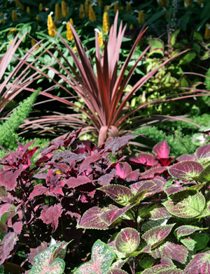 Use coleus to echo or contrast colors with other plants or flowers.