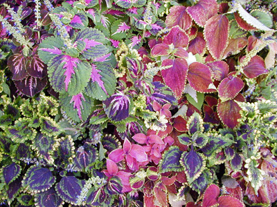 Many types of coleus are available.