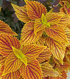 Plant coleus after all danger of frost has passed.