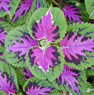 Coleus has alternate leaves in a wide range of foliage colors.