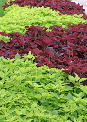 Coleus Has Been A Garden Staple Since Victorian Times.