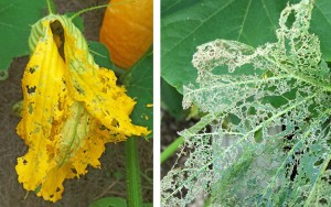 Feeding by the adult beetles damages flowers (L) and foliage (R).