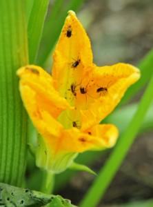 Cucumber beetles on a squash flower.