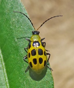Spotted cucumber beetle adult.
