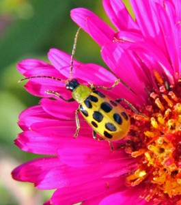 The spotted cucumber beetle feeds on a wide range of plants.