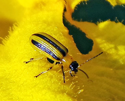 Adult striped cucumber beetles feed almost exclusively on cucurbits.
