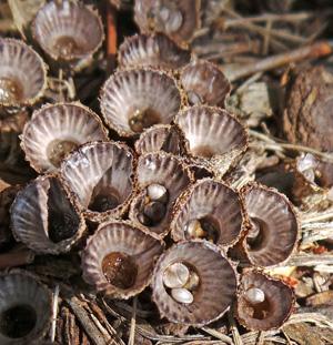 Fruiting bodies of fluted birds nest fungus, Cyathus striatus.