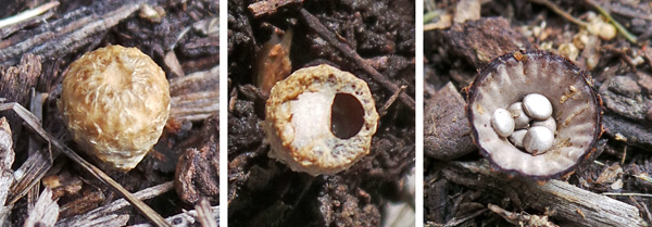 A young, closed fruiting body (L); one with the epiphragm starting to degrade (C); and one fully open exposing the peridioles (R).