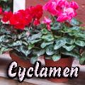 Cyclamen Title Image