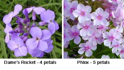 Dames Rocket - 4 petals (L) Phlox - 5 petals (R)