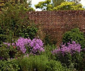 Purple form in a border at Sissinghurst Castle, Kent, England.