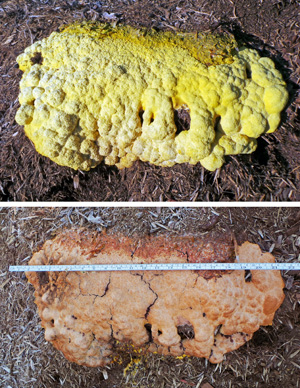 The aethalium quickly dries up and changes color. At 7:00 a.m. the aethalium was fresh and bright yellow; by 4:30 p.m. the same day it was dry, crusty and orange in color. This large specimen was 22 across.