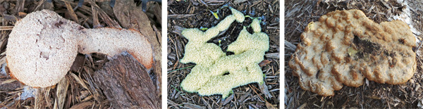 Dog vomit slime mold aethalia vary greatly in size, color, and shapes.