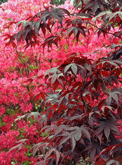 The dark foliage of Bloodgood Japanese maple against pink azalea.