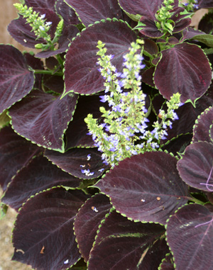 Wizard® Chocolate coleus.