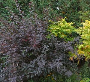 Physocarpus opulifolius Diabolo.