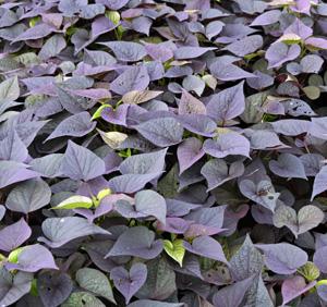 Blackberry Heart sweet potato vine.