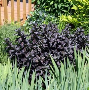 A purple-foliaged tall Sedum nestles amid green foliage.