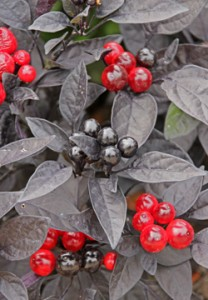 An ornamental pepper with black leaves and red fruit.