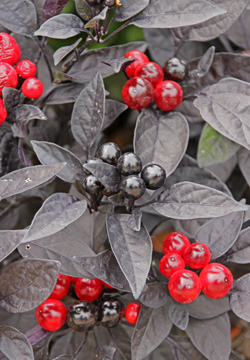 An Ornamental Pepper With Black Leaves And Red Fruit