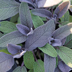 Salvia officinalis Purpurea.