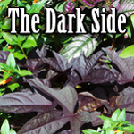 The Dark Side: Plants with Black or Purple Foliage Title Image