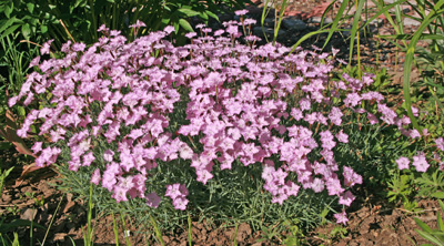 'Bath's Pink' is a good addtions to borders and rock gardens.