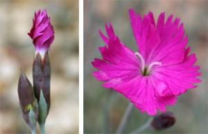 Dianthus 'Firewich' has bright magenta flowers.