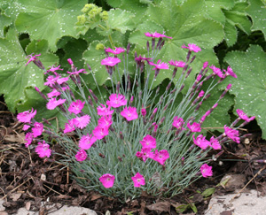 Dianthus 'Firewich' is a great plant for the front of the border.