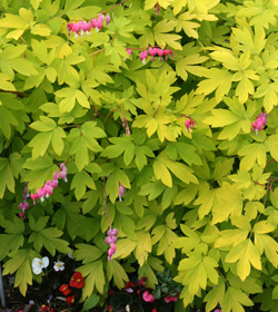 Dicentra spectabilis Gold Heart.