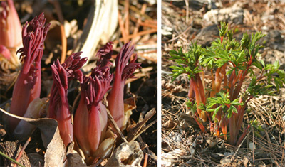 D. spectabilis emerges in early spring with red stems.