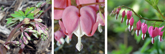 Flower buds (L); individual flower showing reflexed outer pink petals and white inner petals (C); and raceme with open flowers (R).