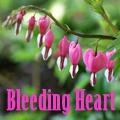 Bleeding Heart, Dicentra spectabilis Title Image