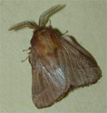 The adult eastern tent caterpillar moth is similar in appearance to this forest tent caterpillar moth.