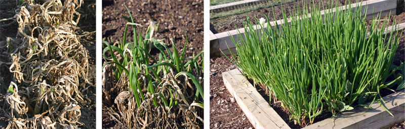 Egyptian walking onions in late winter (L), spring (C) and just before forming heavy bulbil-forming spikes (R).