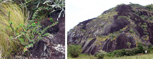 Euphorbia milii in the wild (L) and habitat (R), near Fort Dauphin, Madagascar