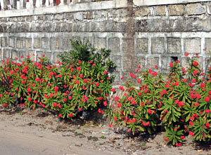 An ornamental planting of crown of thorns along a wall near Antananarivo, Madagascar