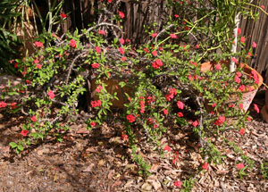 Crown of thorns is grown as an in-ground plant in mild climates